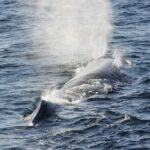 Estas especies de ballenas se puedan ver en aguas del Golfo de México